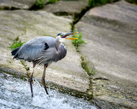 Blue Heron - Fishing (2)