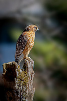 Red-shouldered Hawk - 2021 (3)