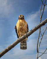 Red-shouldered Hawk - 2021 (2)
