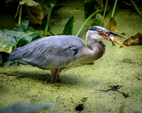 Blue Heron Swallowing a Fish