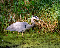 Blue Heron Stalking a Fish