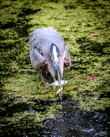 Blue Heron Snagging Two Fish