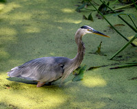 Blue Heron Stalking a Fish (2)