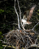 Osprey Brings Branch to Nest