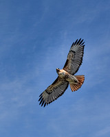 Red Tail Hawk (2)