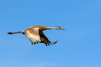 Sandhill Crane at Sandy Ridge (1)