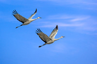 Sandhill Cranes at Japser Polaski (1)
