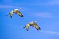 Sandhill Cranes at Japser Polaski (2)