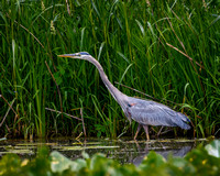Blue Heron Stalking (2)