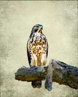 Red Shouldered Hawk (Juvenile) with Texture Backgound