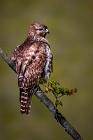 Red Shouldered Hawk May   2020 - edited Background