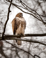 Red Tailed Hawk_December 2020