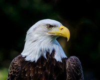 Bald Eagle Profile 1