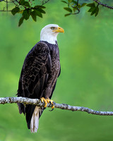 Bald Eagle - Herring Cove - Crop 1