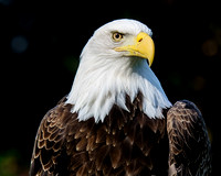 Bald Eagle Profile 2
