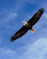 Bald Eagel Soaring (1)