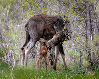 Elk Newborn Nursing  from Mother Cow