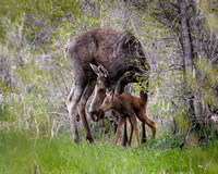 Elk Newborn with Mother Cow