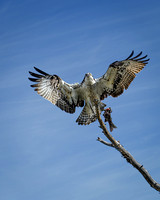 Osprey with Fish (1)