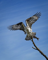 Osprey with Fish (2)