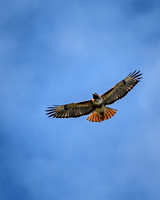 Red Tail Hawk (1)