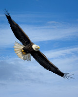 Bald Eagle Soaring (4)