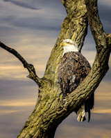 Bald Eagle Perched (3)