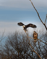 Adult Eagle Eats a Fish While Juvenile Watches