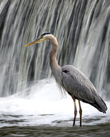 Blue Heron by the Falls