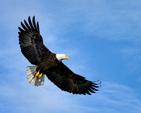 Bald Eagle Soaring (5)