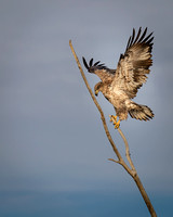 A Juvenile Bald Eagle Comes in for a Landing