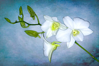 White Moth Orchid with Texture