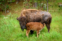 Custer State Park - Bison Cow and Calf